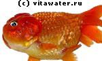 Водянка у золотой рыбки, вызваннае туберкулезом.