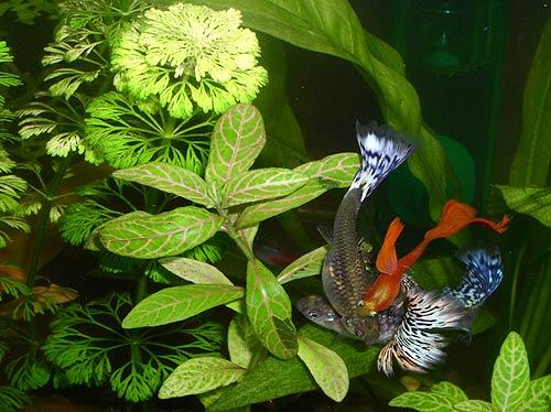 Аквариумные рыбки гуппи гупи роесiliа