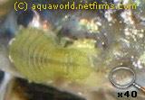 паразиты кишечника рыб
